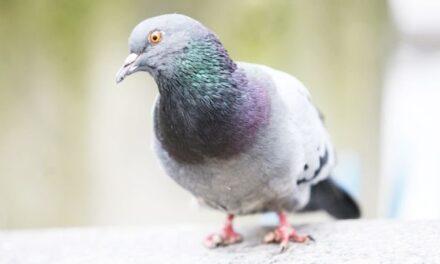 ¿Sabías qué hay más palomas con las garras mutiladas cerca de las peluquerías?