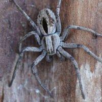 Descubren una especie de araña cuyos machos atan y violan a las hembras