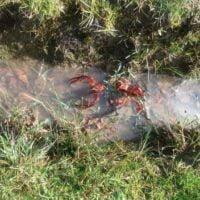 Invasión de cangrejos rojos en los parques de Bogotá