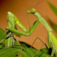 Descubrieron la astuta estrategia que desarolló un insecto macho para evitar que las hembras lo decapiten después del sexo