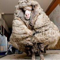 Hallaron a una oveja salvaje con 35 kilos de lana encima: estaba casi ciega